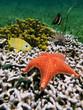 Cushion starfish over coral