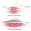 Smooth muscle innervation, eps10