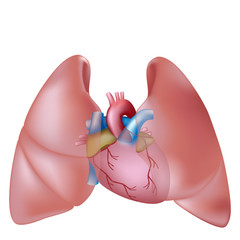 Human lungs and heart, eps10