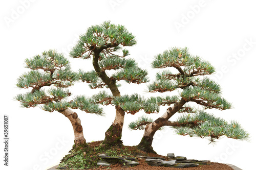 three pine bonsai trees
