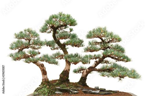 Canvas Bonsai three pine bonsai trees