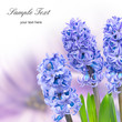 Blue hyacinthes