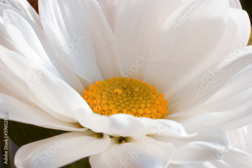 White chamomile with yellow center on green background