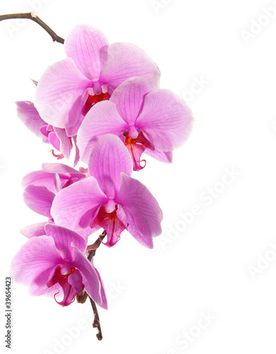 Sticker pink orchid isolated on white background