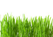 Isolated fresh green grass with drops on white background