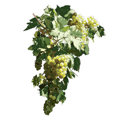 Grapes With Leaves on white background