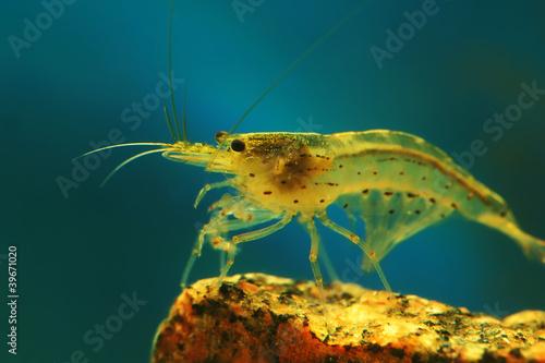 shrimp - 39671020