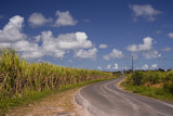 Sugar cane fields in Guadeloupe