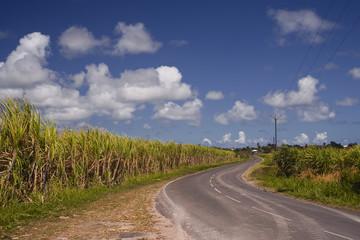 Sugar cane fields in Guadeloupe