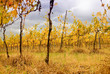 vineyard in autumn under cloudy sky