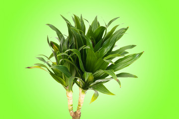 Dracaena plant against gradient background