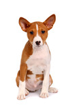 Little Basenji puppy, brindle colour, 2 month poster