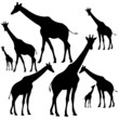 set of fine giraffes silhouettes