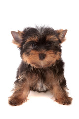 Yorkshire Terrier, isolated.