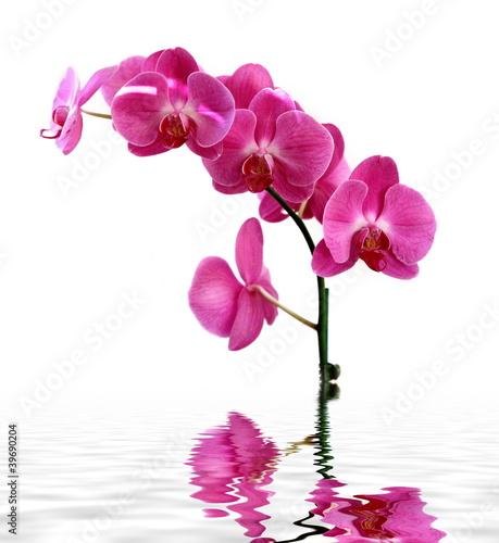 Różowa orchidea na białym tle.