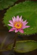 A pink flowering water lily