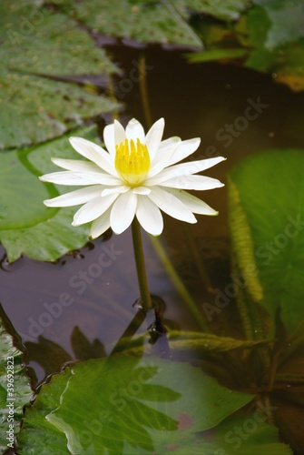 A white blooming water lily flower