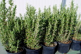 rosemary plants in black pots ready for transplant poster