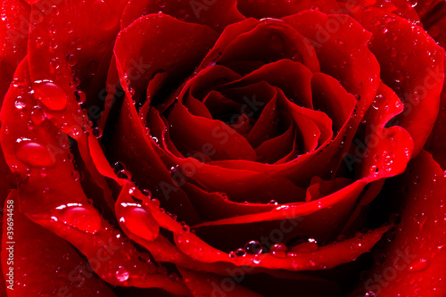 Foto op Canvas Macro red rose with water drops