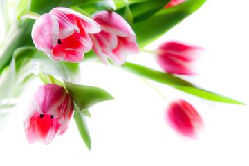 Fünf rosafarbene Tulpen
