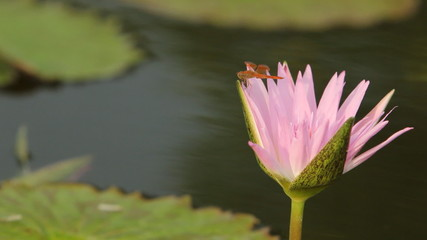 Dragonfly on pink lotus