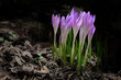 Crocus flowers in deep forest