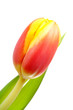 Head of Dutch tulip flower