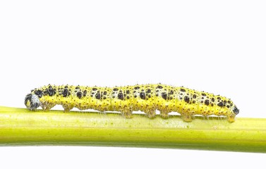Caterpillar of the cabbage.