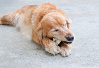 a golden retriever chewing a rawhide bone