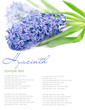 blue hyacinth with copy space isolated on white 2(1).jpg