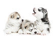 three Siberian husky puppy dog