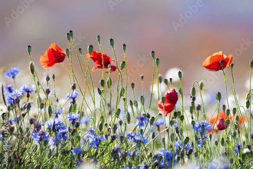 In de dag Poppy wild flowers