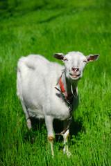 White smiling goat
