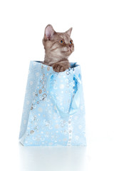 kitten striped british in shopping bag isolated