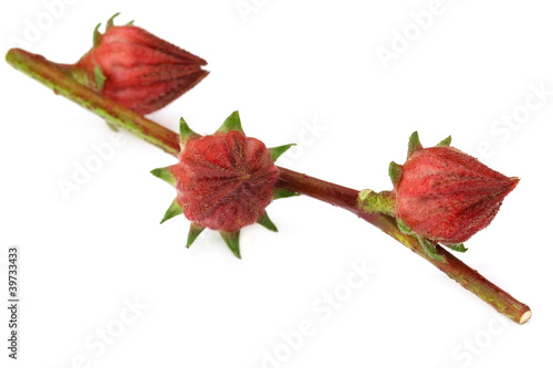 Roselle fruits on branch