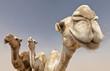 Leinwanddruck Bild - camels