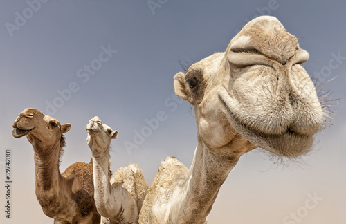 Foto op Aluminium Kameel camels