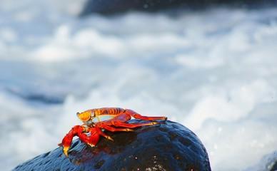 Redo Rock Crab in Surf