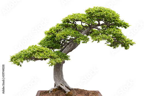 Foto op Aluminium Bonsai Green bonsai tree on white background