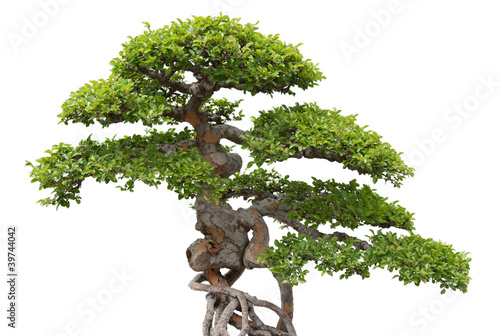 Plexiglas Bonsai Bonsai, green elm tree on white background