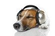 Dog listen to music with headphones