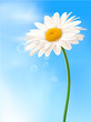 Beautiful white daisy in front of the blue sky