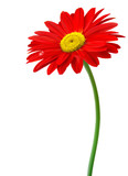 Beautiful red flower in front of the white background