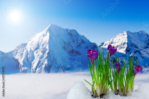 Fotobehang Krokussen Spring crocus flowers and snowy mountains