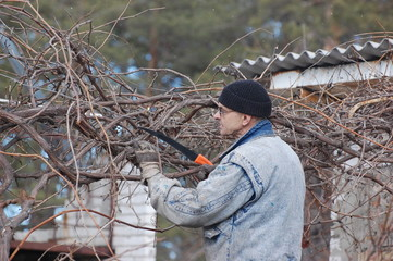 ardener pruning the branches of grape in early spring