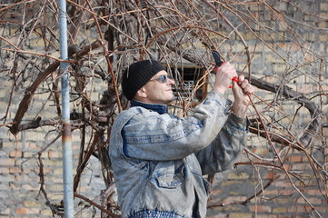 Gardener pruning the branches of grape in early spring