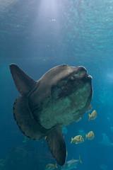 Ocean sunfish (Mola mola) in Lisbon Oceanarium