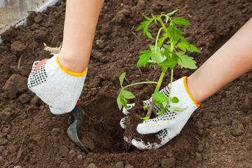 hands planting tomato seedling