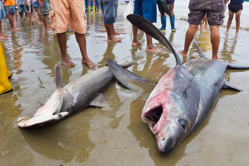 Sharks caught by fishermen, Ecuador