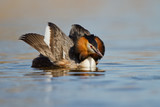 Great Crested Grebe, waterbird (Podiceps cristatus) poster